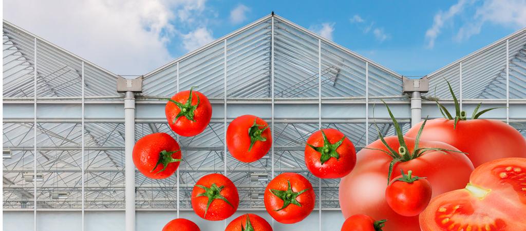 Bilde av et drivhus og tomater. www.biofresh.no