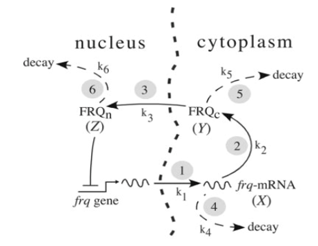 Basic mechanism of the Neurospora circadian clock